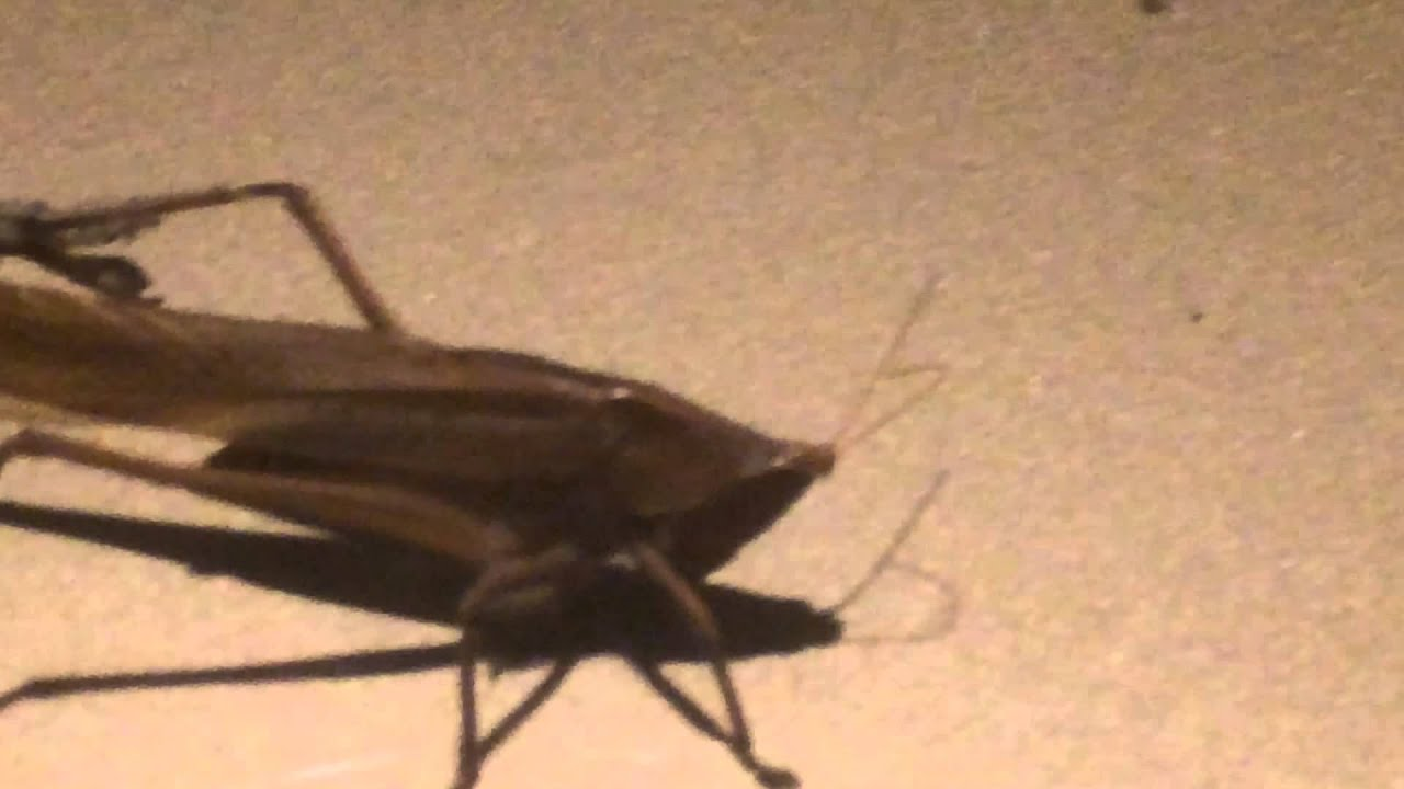 Saber Tooth Crotch Crickets photo 25