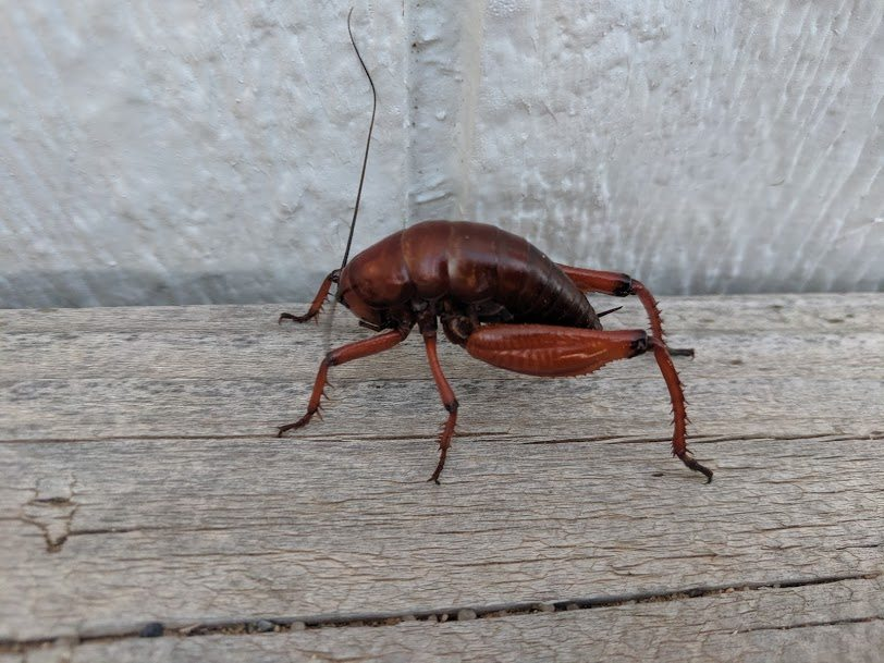 Saber Tooth Crotch Crickets photo 6
